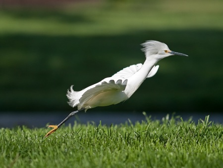 Non-breeding Snowy Egret